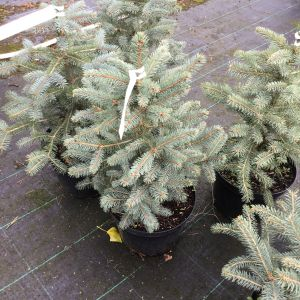 Blue Spruce (Picea) (Pot Grown) 60-70cm