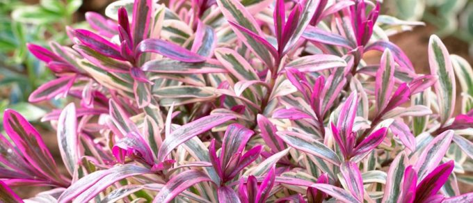 Featured image for 'Hebes – Spring Colour'