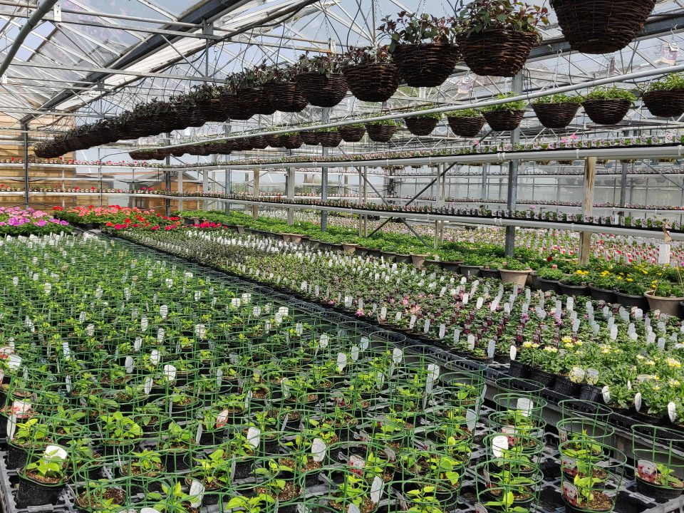 Bedding plants and hanging baskets in our nursery