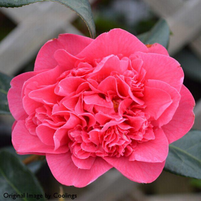 Camellia x williamsii 'Anticipation' (AGM) 3L