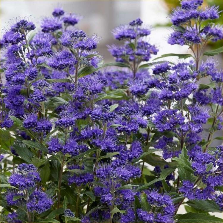 Caryopteris x clandonensis 'Grand Blue'