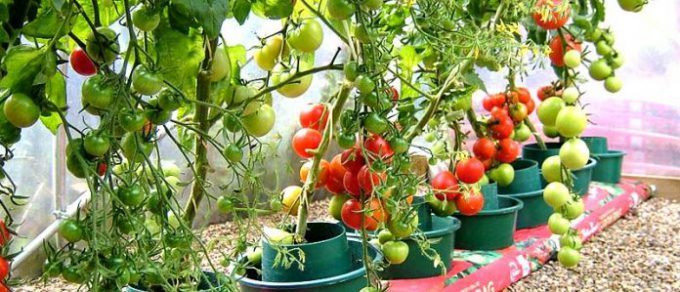 Featured image for 'Grow your own: Tomatoes'