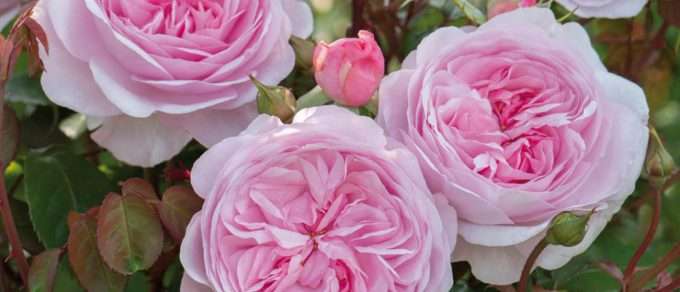 Featured image for 'Rose Care'
