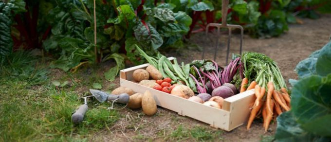 Featured image for 'Allotment Gardening – the benefits of growing your own'