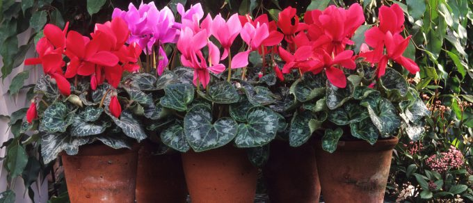 Featured image for 'Winter Flowering Houseplants'