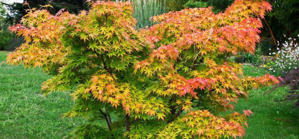 Acer palmatum 'Orange Dream' (AGM)