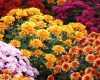 Autumn Flowering Chrysanthemums