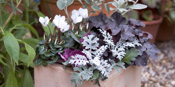 Autumn Pot with Cineraria, Heuchera and Cyclamen