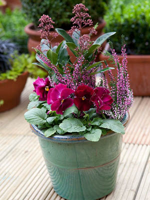 Autumn Pot with Skimmia japonica 'Rubella', Heathers and Pansies