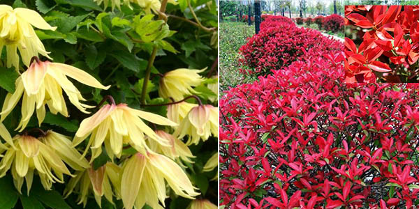 Clematis 'Amber' and Photinia 'Carré Rouge'