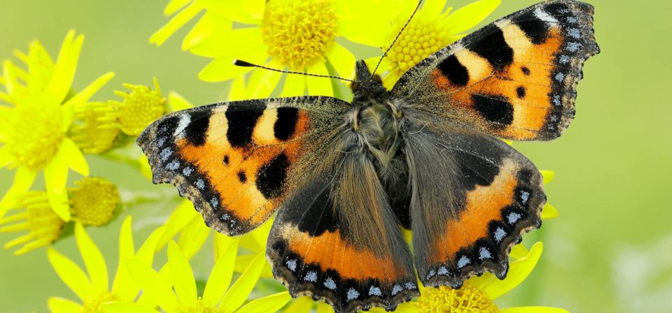 Wildlife in the garden, such as this Small Tortoiseshell Butterfly, is great to cheer the mood