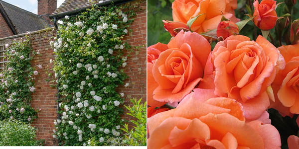 Rosa 'Madame Alfred Carrière' and Rosa 'Scent from Heaven'