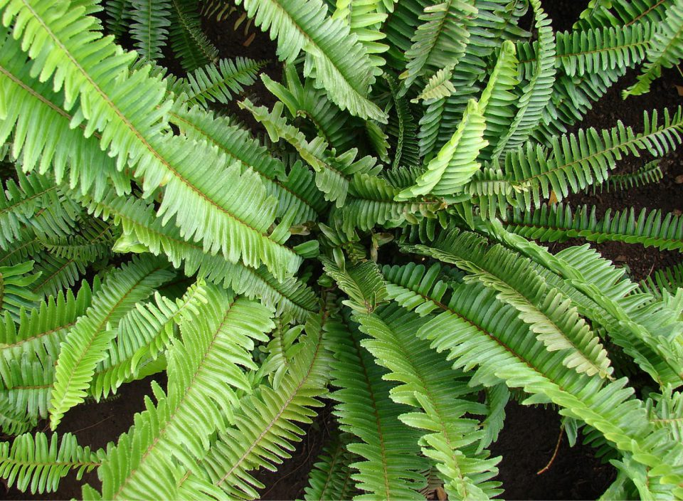 Nephrolepis (curly fern)