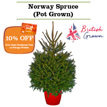 Christmas Trees Full Range Of Premium Real Cut Christmas Trees Now In Coolings Garden Centre