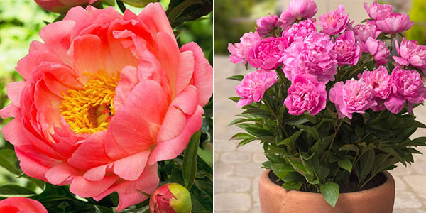 Peony 'Coral Sunset' and 'Rome'
