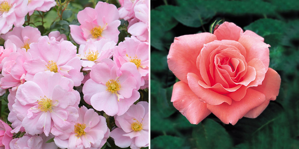 Rosa 'Queen Mother' and 'Blessings'