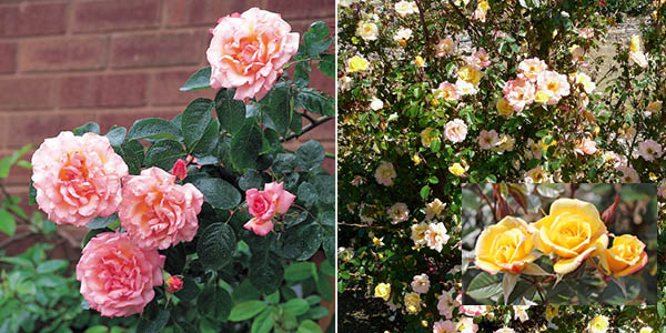 Rosa 'Compassion' and Rosa 'Laura Ford'