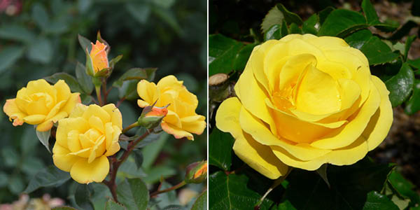 Rosa 'Laura Ford' and 'Freedom'