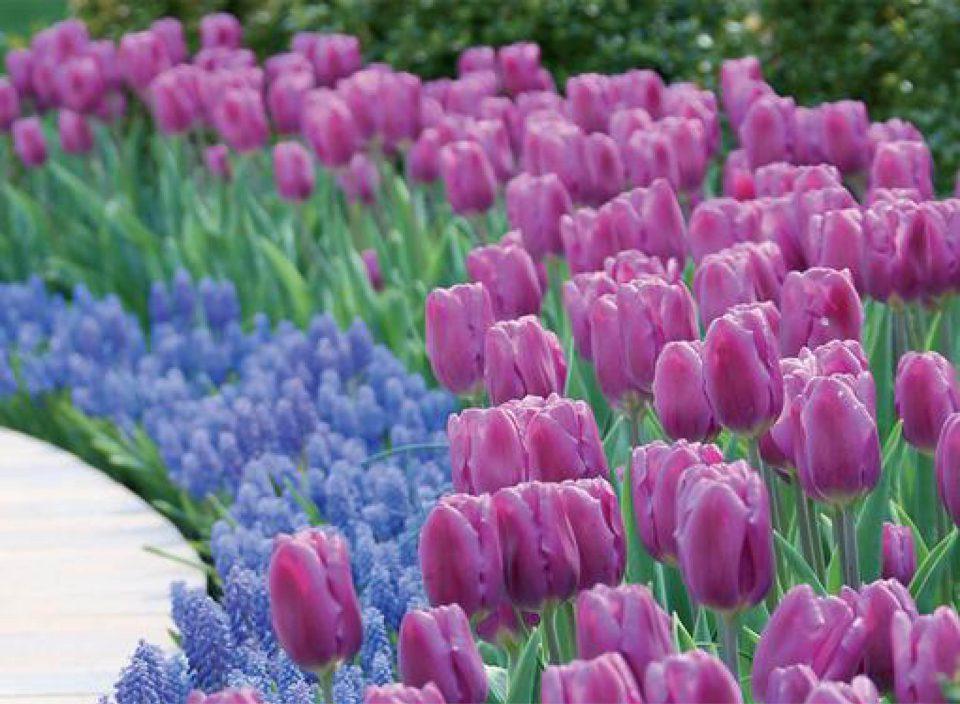 Tulip Synaeda Amour with Muscari Arnaenicum