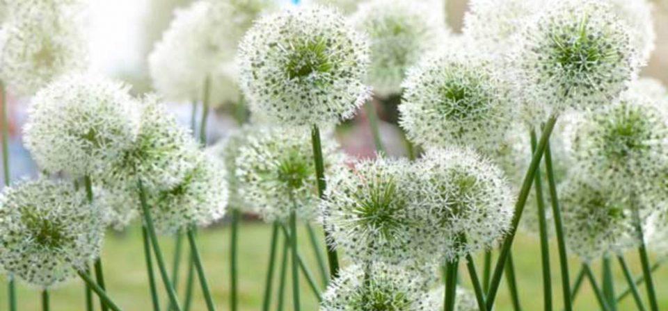 Allium 'Mount Everest'