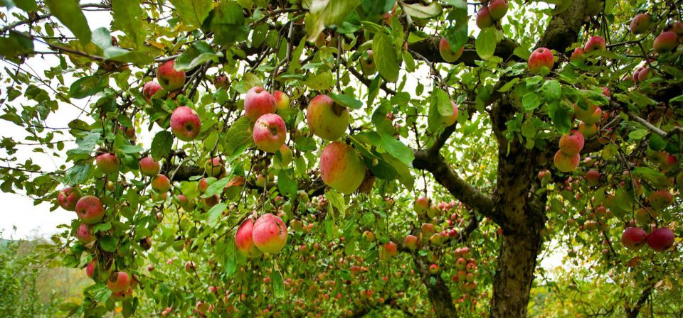 Pick ripe fruit such as apples