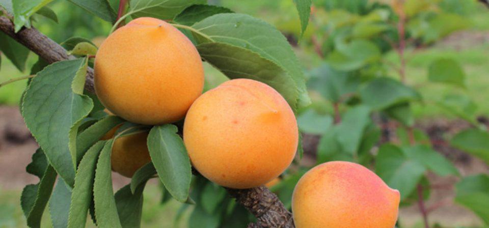Apricot compacta