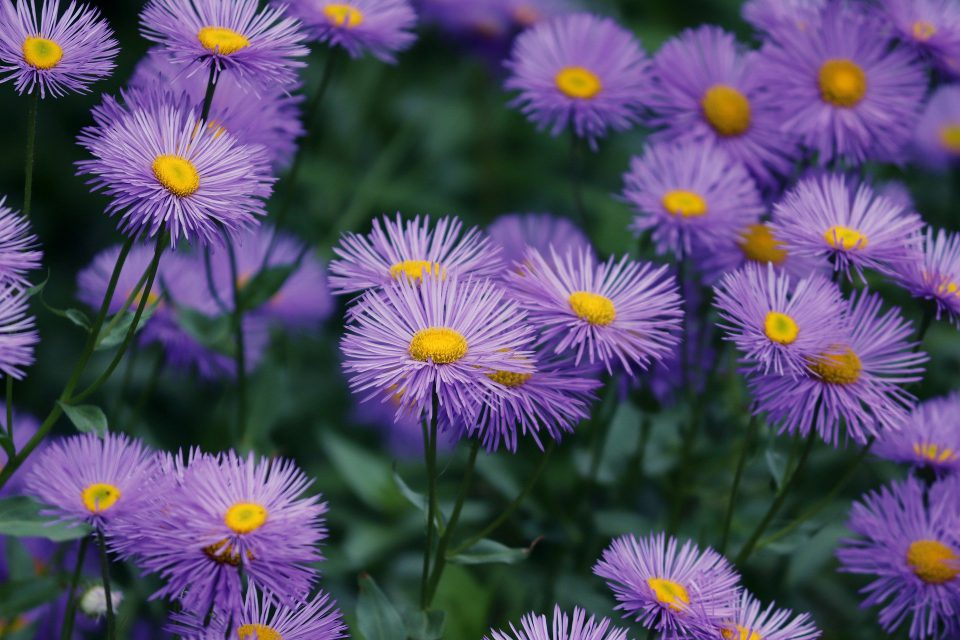 Aster 'Island Series'