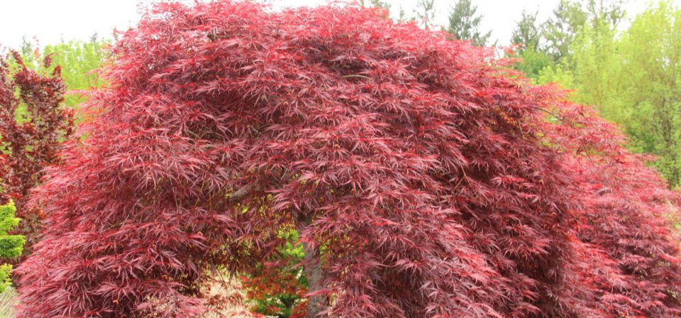 Acer palmatum 'Inaba-shidare' (AGM)