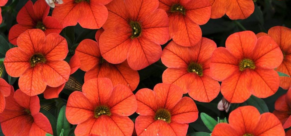 Calibrachoa 'Can Can Orange'