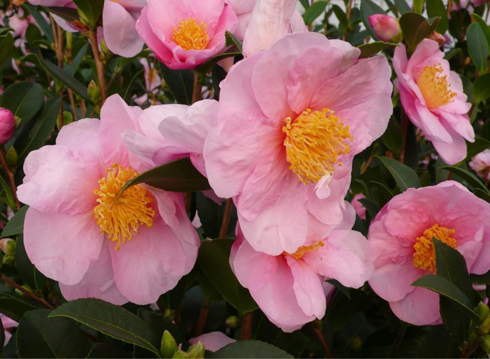 Camellia 'Pink Godess'