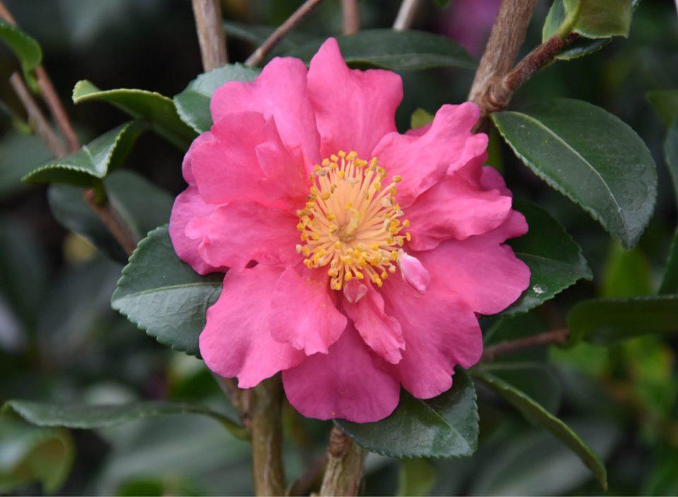 Camellia 'Sekiyo'