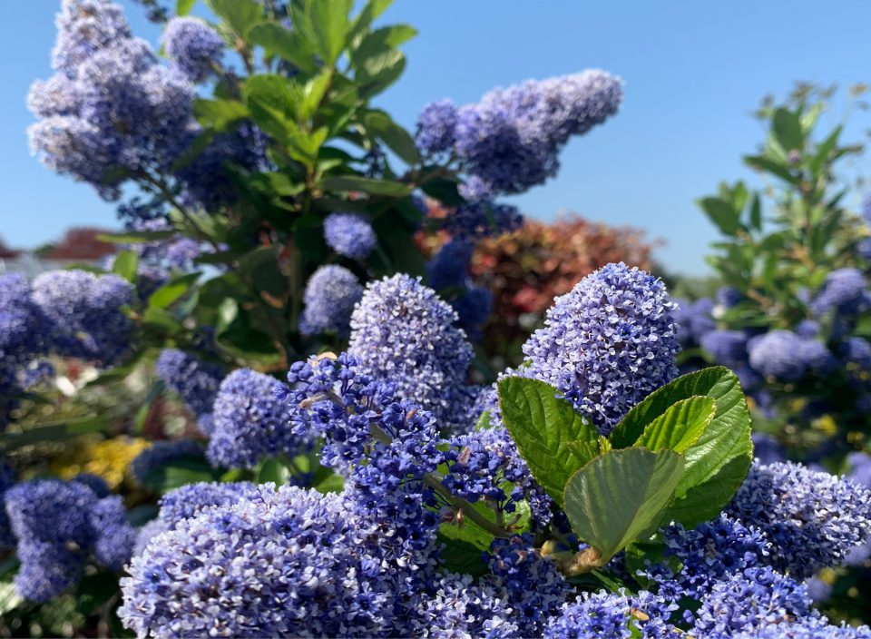 Ceanothus looks beautiful in May