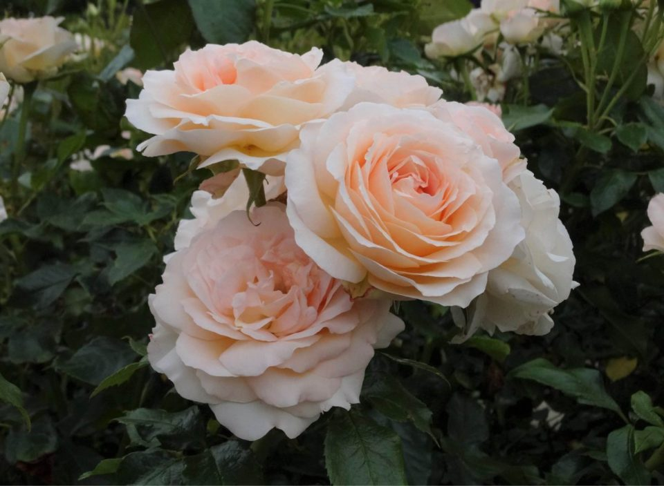 Rosa 'Chandos Beauty'