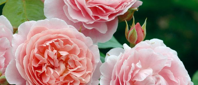 Featured image for 'Coolings Guide to Roses'