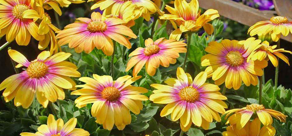Osteospermum 'Blushing Beauty'