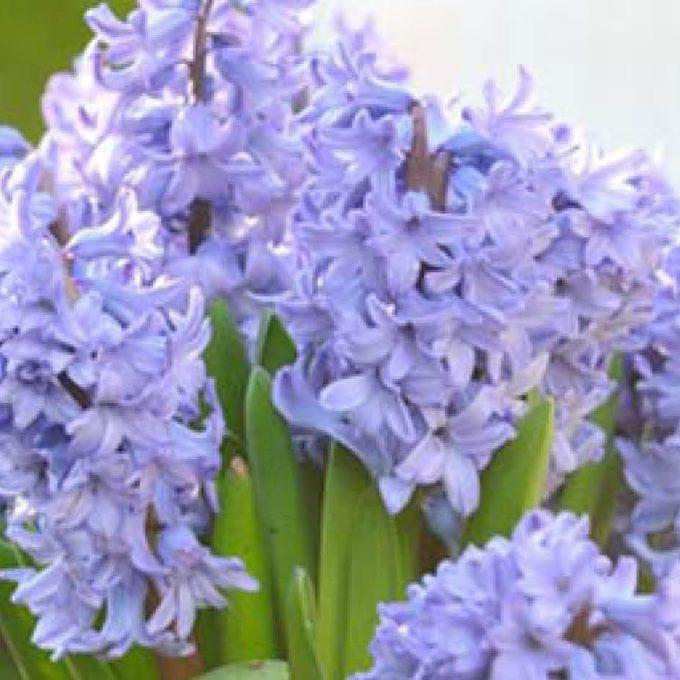 Pot up indoor Hyacinths
