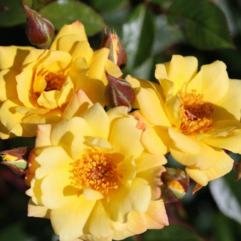Rosa 'Laura Ford'