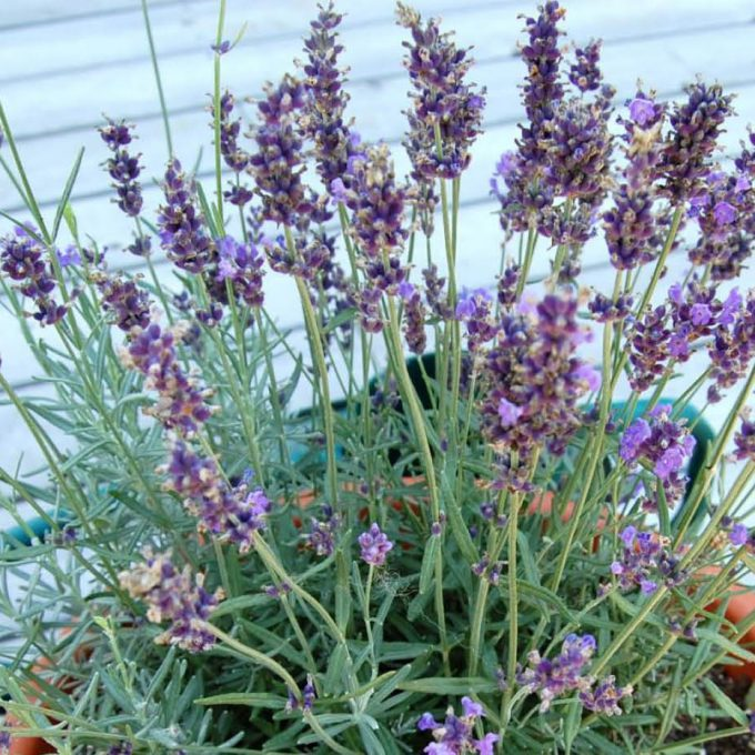 Trim your Lavender plants to keep them compact