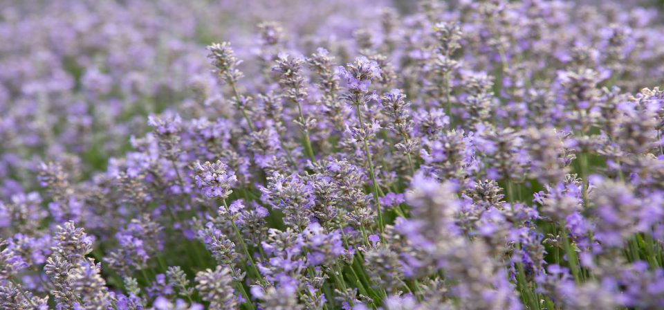 Lavender 'Ashdown Forest'