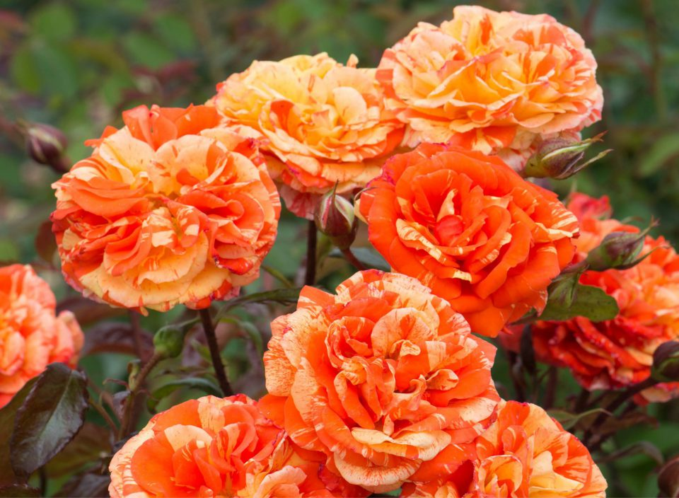 Rosa 'Oranges and Lemons'