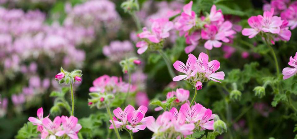 Take cuttings of your favourite tender perennials such as Pelargoniums