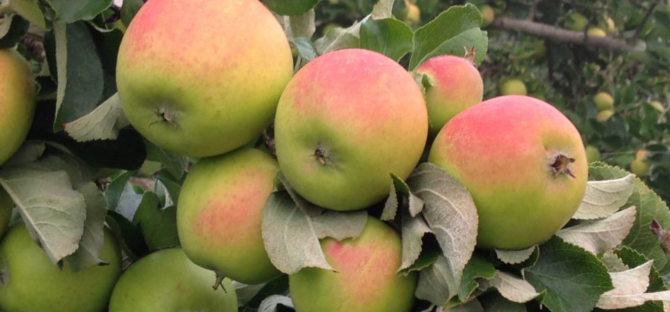 Pick early variety apples