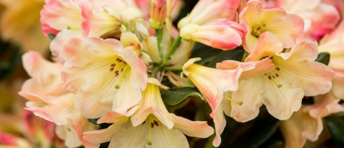 Featured image for 'Rhododendrons and Azaleas – what's all the fuss about?'