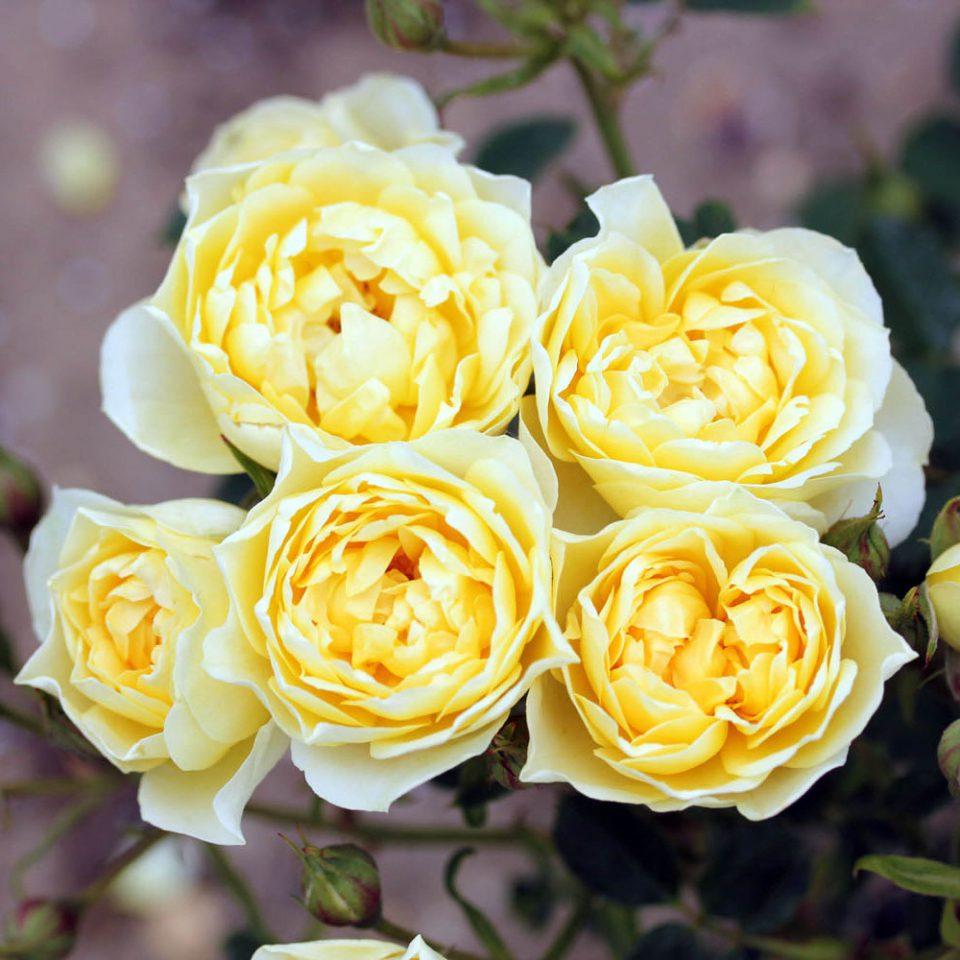 Rosa 'Sweet Memories'