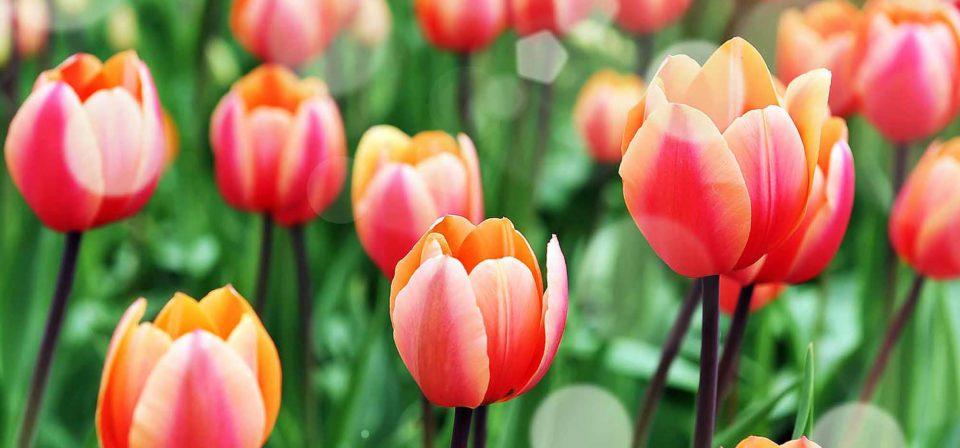 Plant spring flowering bulbs