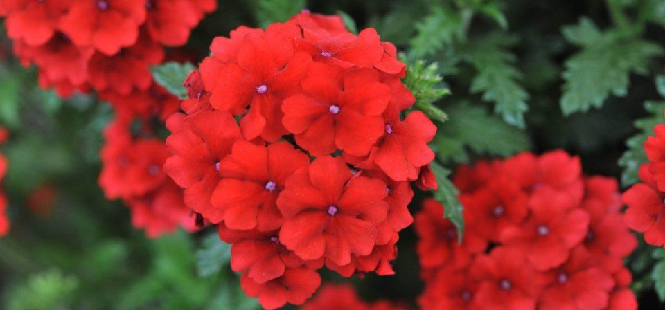Verbena 'Red'