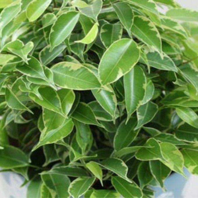Ficus benjamina 'Kinky'