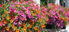 Tips on Planting Baskets with Beautiful Bedding