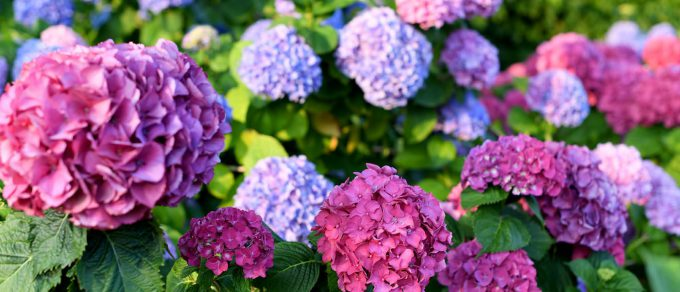 Featured image for 'Hurrah for Hydrangeas'