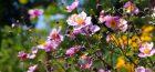 September Beauties in the Herbaceous Garden